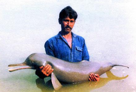 Этот дельфин наиболее резко отклоняется от других видов семейства.